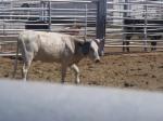 steer 2