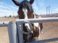 Mugshot of Maggie, one of several horses in the cattle roping demo.