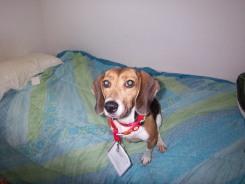 CC beagle