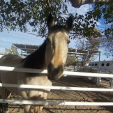 """""""Hey good lookin' we'll be back to pick you up later!"""", buckskin stallion"""