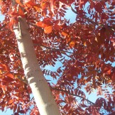 Bright red autumn leaves