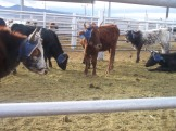 """What's up?"" small herd of cattle roping steers."
