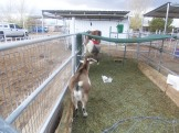 """Talk to the tail"" this here is a mini ram(male) goat"