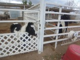 Mini horse(left) and Gypsy(Right) isn't it funny that they're the same colors?